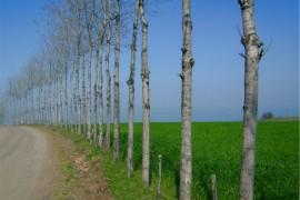 海外农业投资新品种,生物质能源杨树种植园